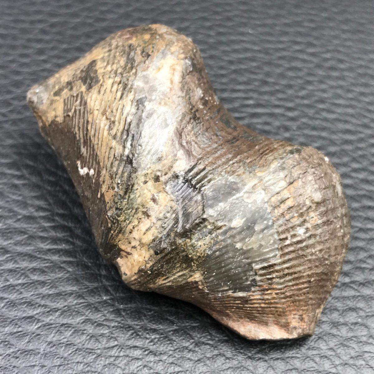 cyrtospirifer-grabaui